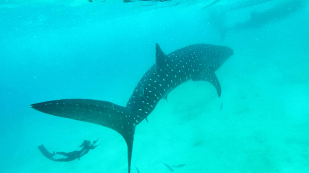 Swimming with the Whale Sharks in Oslob, Cebu, Philippines