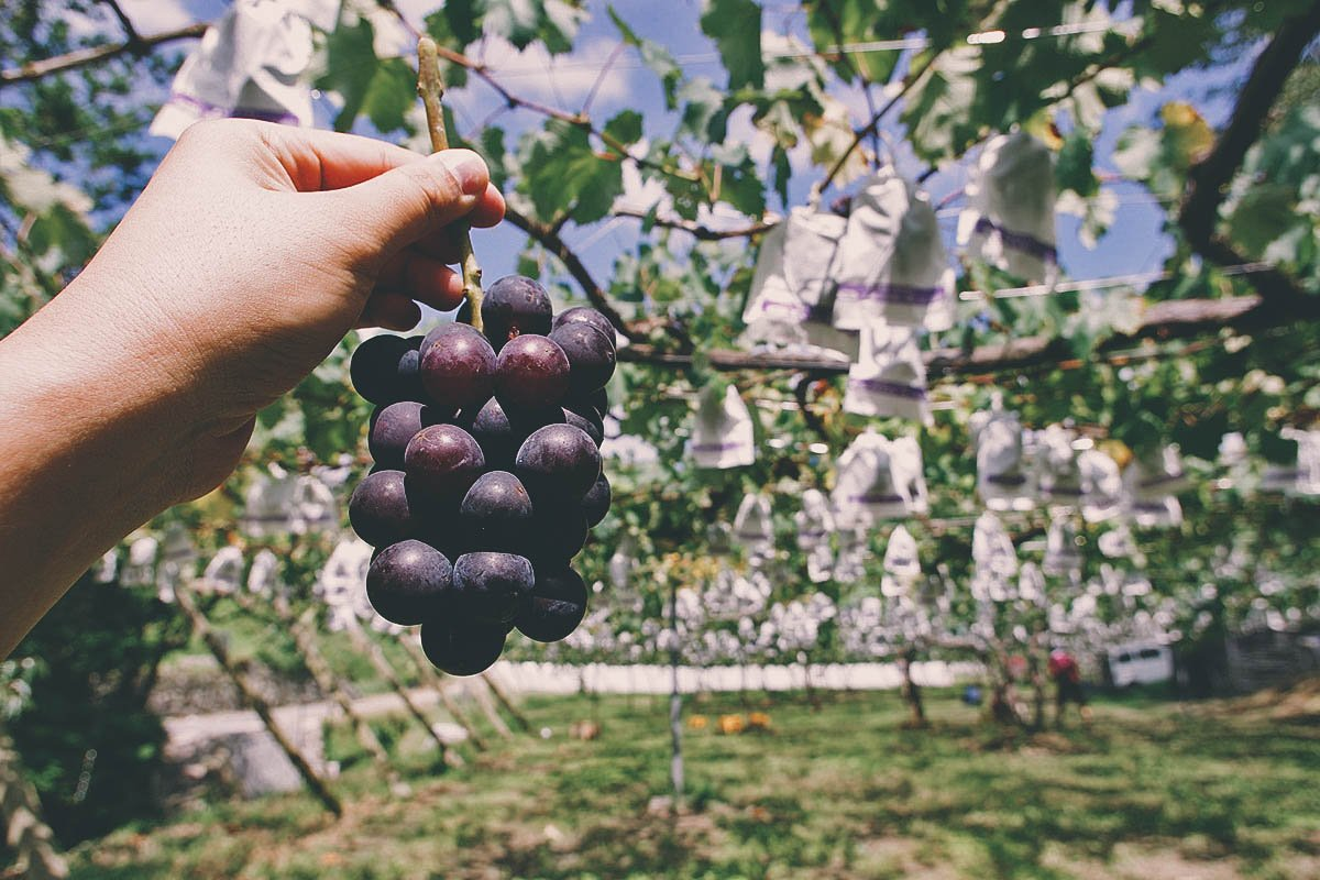 Grape Picking in Bauang, La Union, Philippines