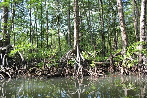Palawan Mangrove Forest