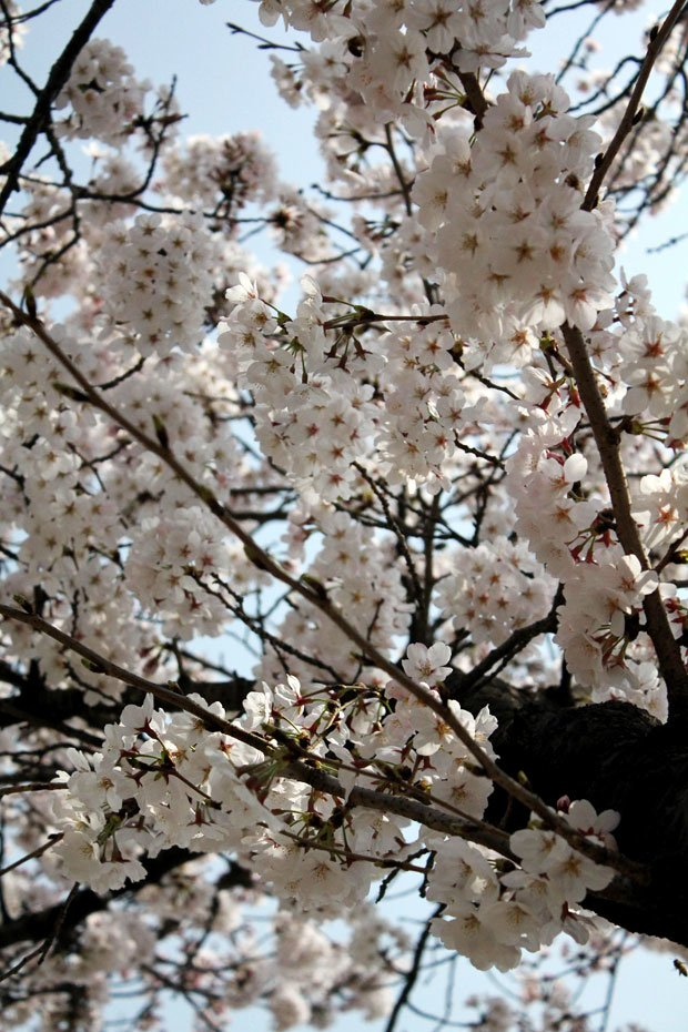 Spend a Day in Jinhae, Home of South Korea's Biggest Cherry Blossom Festival!