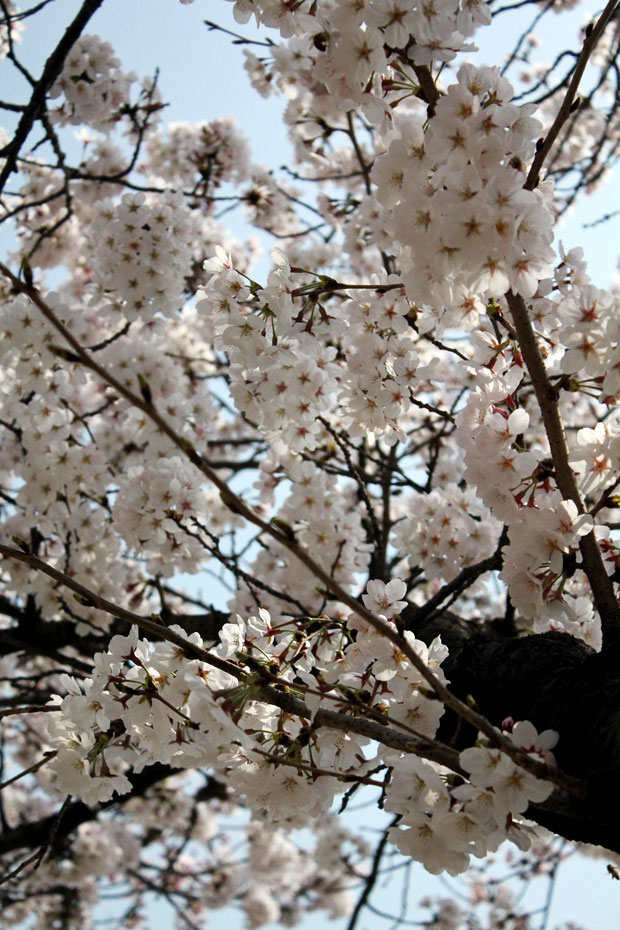 Spend A Day In Jinhae Home Of South Korea S Biggest Cherry Blossom