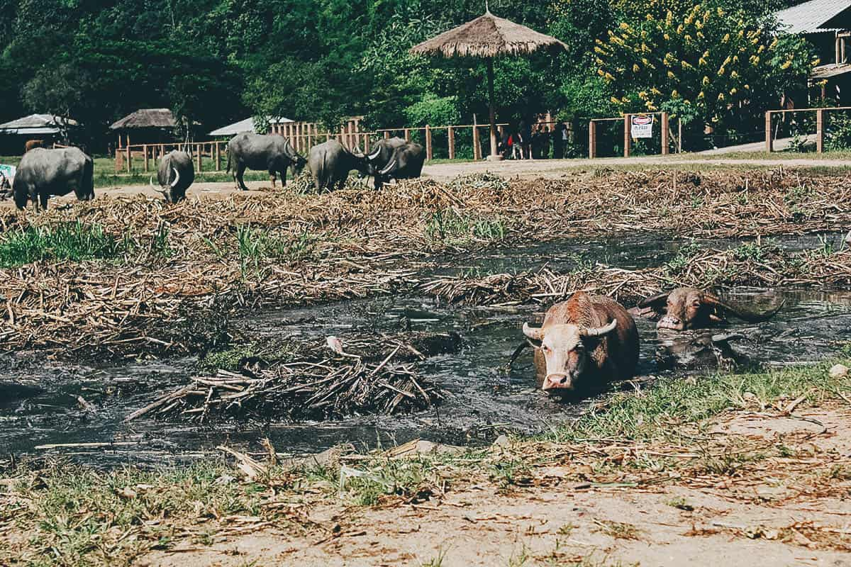 Elephant Nature Park: A True Animal Sanctuary in Chiang Mai