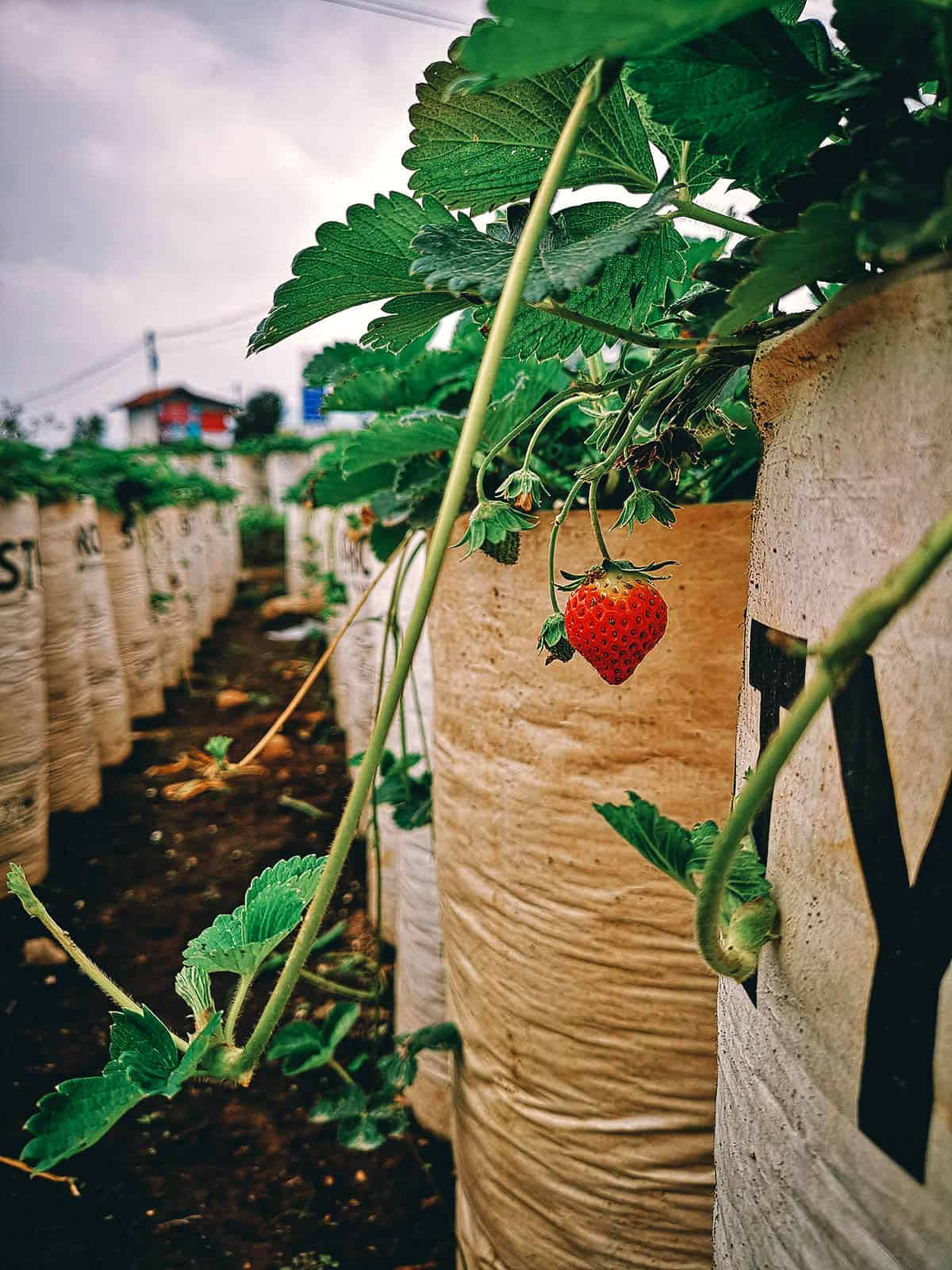 Strawberry Picking in Bandung, Indonesia