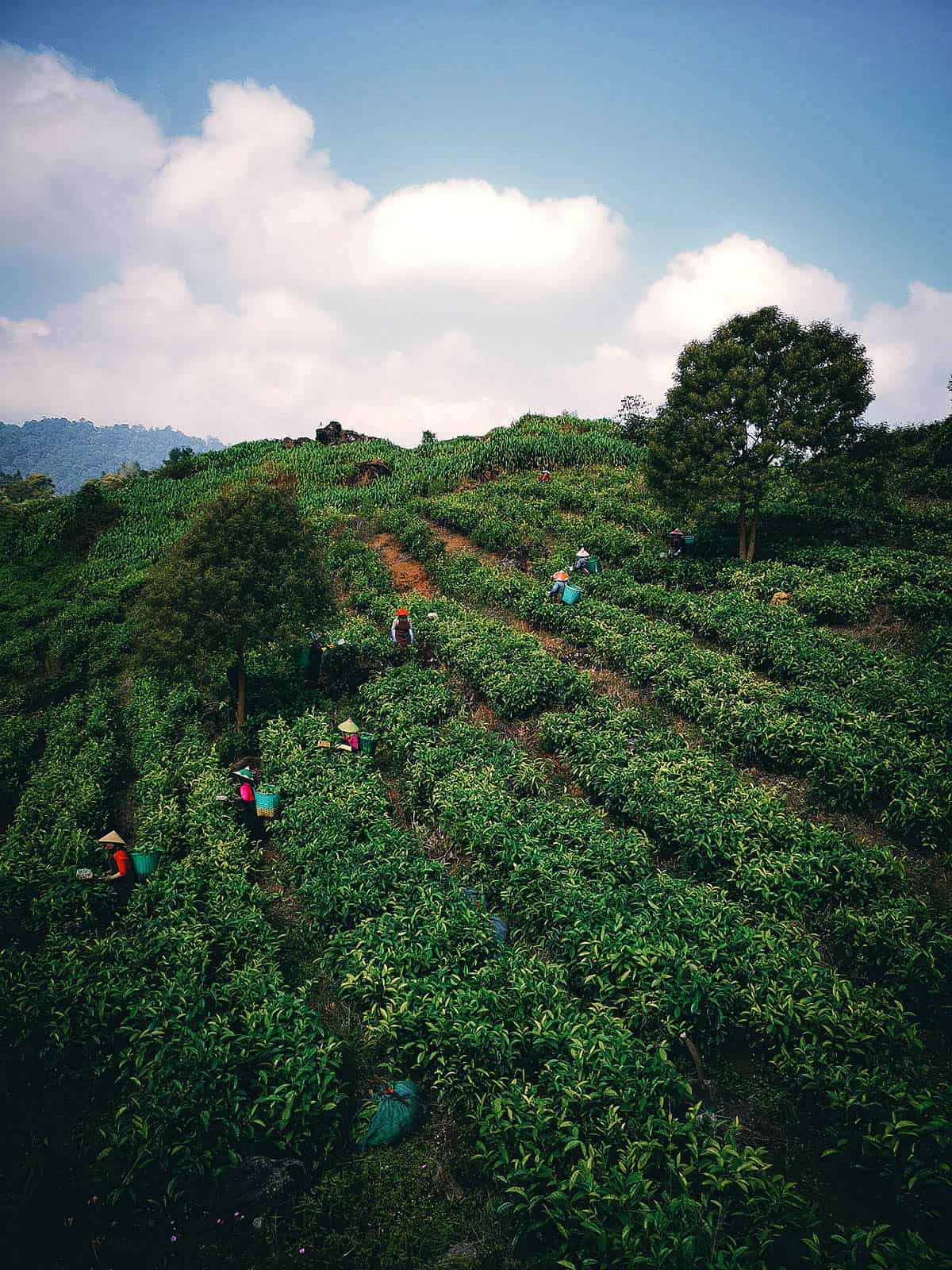 Tea Plantations in Bandung, Indonesia