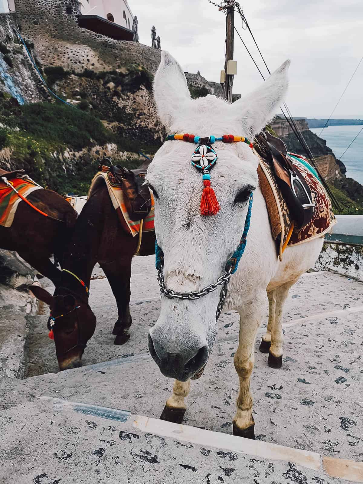 Donkeys in Fira, Santorini, Greece