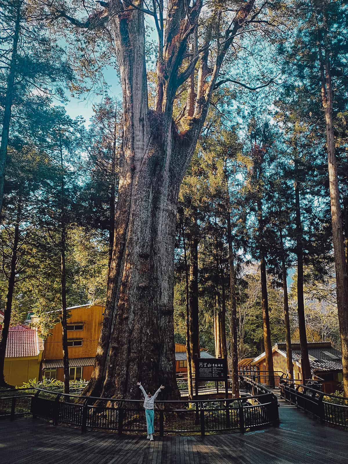 Xianglin Sacred Tree at Alishan National Scenic Area, Chiayi County, Taiwan