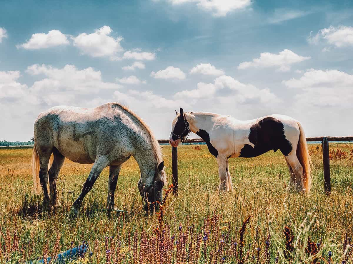 Horses in Puszta, Hungary
