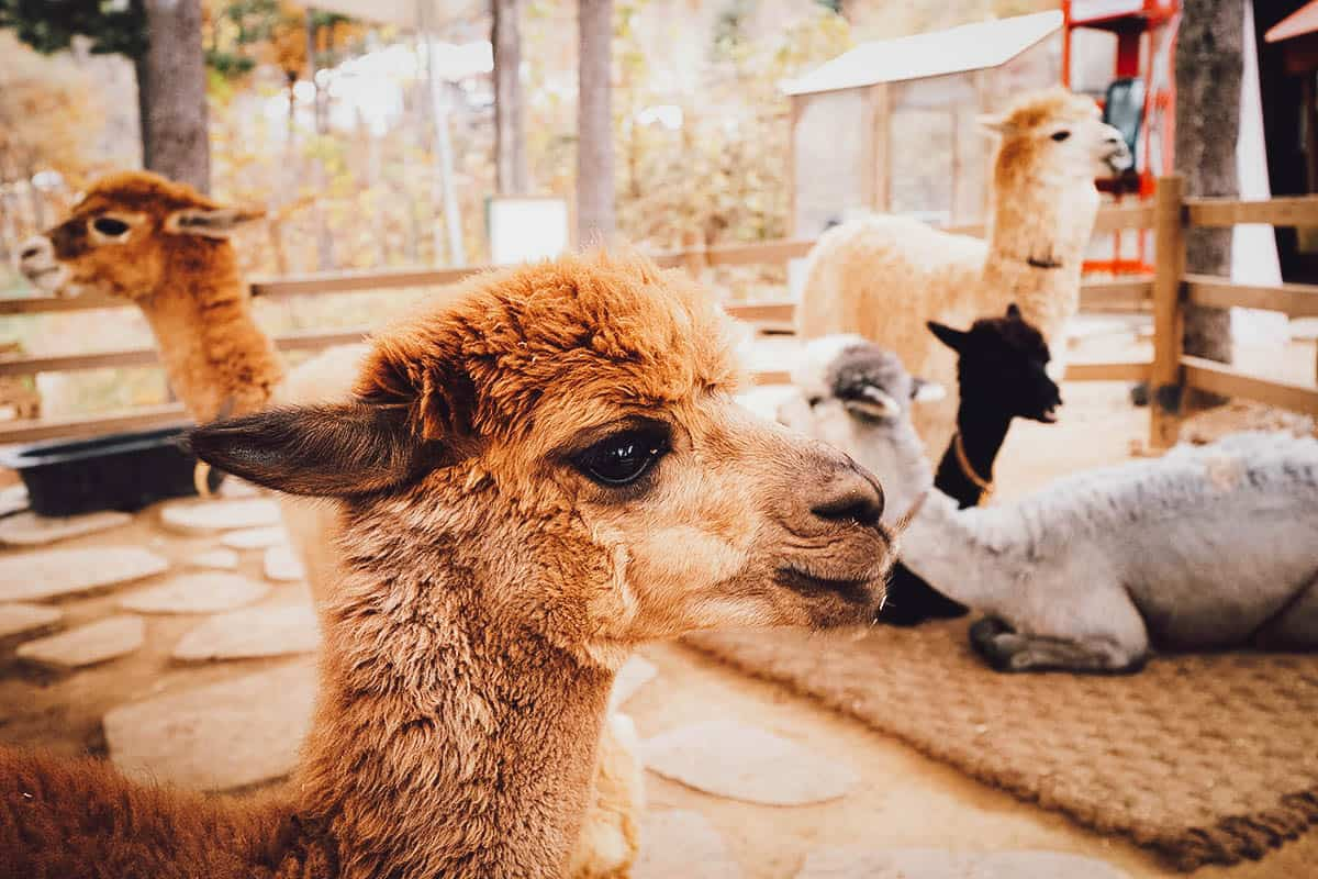 Group of alpacas