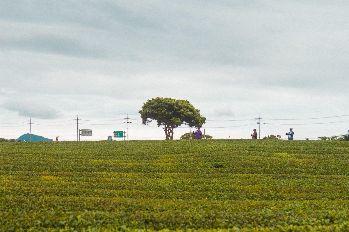 O'sulloc green tea fields